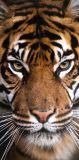 Osuška Tiger 70x140 cm
