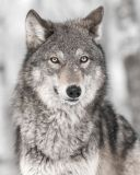 Mikroflanelová detská deka Vlk